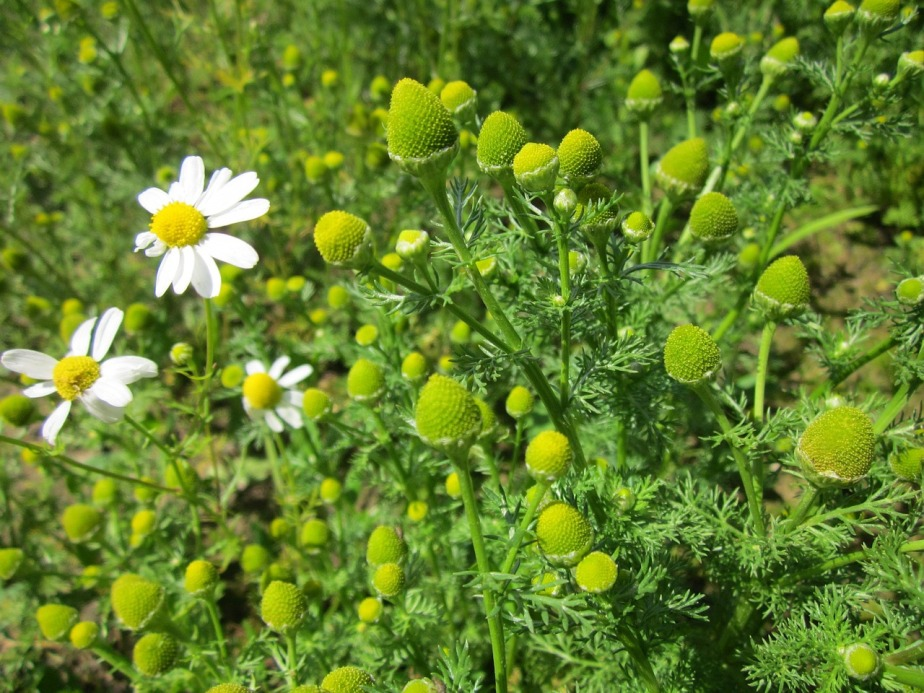 Native Perennial Series: Chamomile